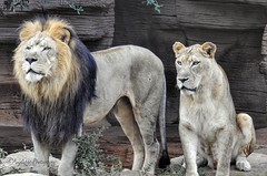 Mr and Mrs Lion (AngelVibePhotography) Tags: zoo lions feline mammal animal riverbankszoo nature photography nikon closeup outdoor bigcat lion lioness cat cats nikonp900 brown