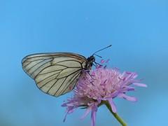 Baum-Weißling [ Black-veined white ] [ Hagtorns fjäril ] ( Aporia crataegi ) (ritschif) Tags: baumweisling aporiacrataegi blackveinedwhite hagtornsfjäril makro tagfalter weislinge natur butterfly dagfjärilar tiere
