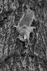 Life is not a joke... (@ntomarto) Tags: antomarto ntomarto usa unitedstates us statiuniti newyork ny nyc biancoenero blackandwhite bw urban urbano scoiattolo squirrel albero tree washingtonpark