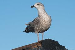 Herring gull (Shane Jones) Tags: herringgull gull seabird bird wildlife nikon d500 200400vr tc14eii