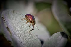 c'est bon ces petites feuilles (rondoudou87) Tags: insecte bug macro pentax k1 jardin garden close closer dof nature natur