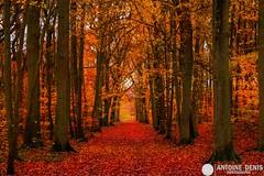 Red autumn... (tione76) Tags: nikon d5300 tione76 arbres trees paysage landscape forêt forest normandie normandy wood colors colours couleurs red automne autumn vernon bizy nature