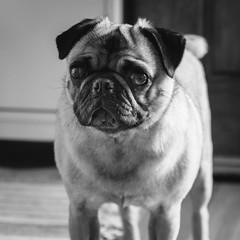 Heitu-00074-2 (kiddfei2012) Tags: pug dog pet puppy