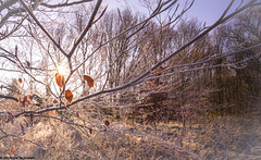 frost (foorel) Tags: starburst sunstar frozen leaf tree trees nature voigtlander 15mm