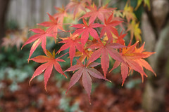 328/366 fall colors (embem30) Tags: 2016 3657 366 project365 leaves fall japanesemaple