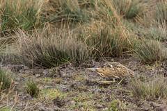 Flickr-5624 (fix.68) Tags: butorétoilé oiseau