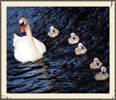 Mummy swan with her puppies announce the arrival of spring.../ Mute Swans (Cygnus olor) (silwittmann) Tags: family blue white water birds animals swimming germany deutschland spring puppies europa mother aves swans animalia schleswigholst