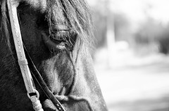 Horse face close up black and white