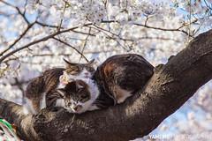 Ueno Park / Tokyo, Japan (yameme) Tags: travel flowers nature animal japan cat canon eos tokyo ueno  sakura cherryblossoms    uenopark     24105mmlis flickraward 5dmarkii 5d2 flickraward5 flickrawardgallery