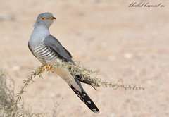 Common Cuckoo -   - -  (khalid hamad   ) Tags: from birds common hamad khalid cuckoo  qatar        m