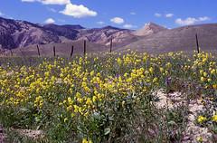 Roadside 1 (DY Pics) Tags: california flowers nikonf100 wildflowers velvia100 panoche californiawildflower nikonfilmcamera