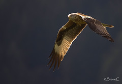Red On Black (StevieC-Photography) Tags: birdofprey redkite birdinflight milvusmilvus redonblack steviec redkiteinflight
