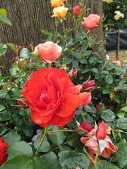 Rose 'Trumpeter' (wallygrom) Tags: roses england rose westsussex rosa angmering manornursery manornurseries