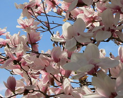 IMG_2130 (quirkyjazz) Tags: trees clouds spring lookingup magnolias blueskky