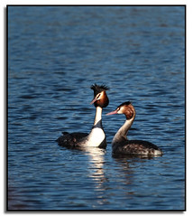 Grebe Pair..... (Phil Dodd CPAGB BPE 1*) Tags: nature birds wildlife naturalhistory britishwildlife grebe britishbirds sandwellvalley canoneos7d