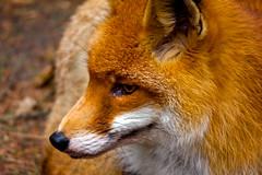 (#2.051) Red fox / Rotfuchs (Vulpes vulpes) (unicorn 81) Tags: red animal germany mammal deutschland europe fox tier schleswigholstein redfox wildpark vulpesvulpes norddeutschland wildlifepark sugetier rotfuchs wildparkeekholt wildparksindeutschland
