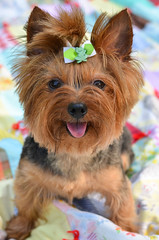 Lily Smiling For The Camera (Brendahawk) Tags: dog yorkie 50mm lily quilt yorkshireterrier nikond7000