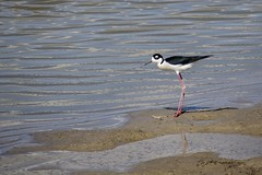 Black-necked Stilt (AnitaBurke1) Tags: bird utah nikon blackneckedstilt shore stilt longlegs shorebird birdrefuge bearriverbirdrefuge d5100 anitaburke