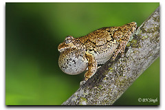 Northern gray tree frog (BN Singh) Tags: new usa tree great north gray nj frog american swamp jersey common northern eastern hyla versicolor tetraploid