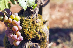 Champagne Grapes Closeup (JPLPhotographyPDX) Tags: red sunlight white green fruits closeup leaf vineyard noir wine background champagne blurred winery grapes bunch pinot winemaking chardonnay cabernet sauvignon antioxidant