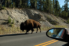195 - Bison on the road (Scott Shetrone) Tags: animals events places yellowstonenationalpark bison mammals 7th anniversaries wymoing
