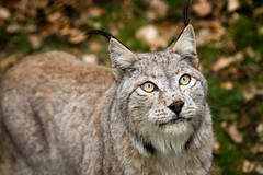 looking up (Cloudtail the Snow Leopard) Tags: wildpark pforzheim tier säugetier animal mammal katze cat feline luchs lynx eurasischer nordluchs cloudtailthesnowleopard