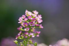 スイートアリッサム (庭薺) /Lobularia maritima (nobuflickr) Tags: sweetalyssum lobulariamaritima スイートアリッサム 庭薺 アブラナ科ニワナズナ属 20130522dsc01444