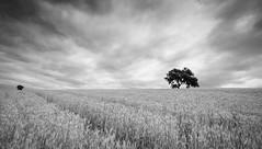 La Campia II (Juan Jos Villarejo) Tags: tree 20d clouds arbol eos blackwhite sigma 1020canon