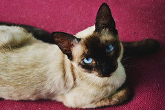 Zooey II (SofiaHiggins) Tags: blue pet cute beautiful cat fur paw eyes feline pretty gorgeous adorable kitty siamese ears whiskers domestic purr meow blueeyed