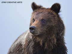 Close-up of a young grizzly bear! (WhiteEye2) Tags: wildlife bears grizzlybear yellowstonewildlife hganimals hennysanimals hennysanimalkingdom