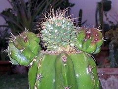 Best Cactus Graft Collection (cactusgraftcreator) Tags: show christmas cactus tree cacti easter some best ever cuttings graft grafts