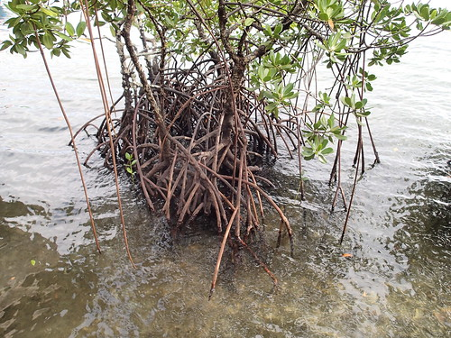 Mangroves at Seran's lagoon, Malaita, Solomon Islands. Photo by Sharon Suri, 2013.