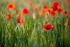 IMG_7773.jpg (Ju Vachelard) Tags: field poppy poppies 5d poppyfield eos5d poppiesfield zuiko100mm