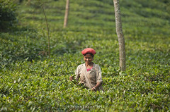 The Green Worker IV (pusan_sm) Tags: woman worker teagarden srimongal moulvibazar srimongol