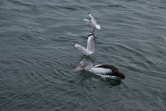 Under Siege (MrBlackSun) Tags: river australian australia pelican richmond nsw newsouthwales ballina australianpelican richmondriver