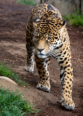 On the Prowl (Penny Hyde) Tags: bigcat jaguar sandiegozoo flickrbigcats