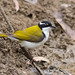 White-throated Honeyeater (Melithreptus albogularis)