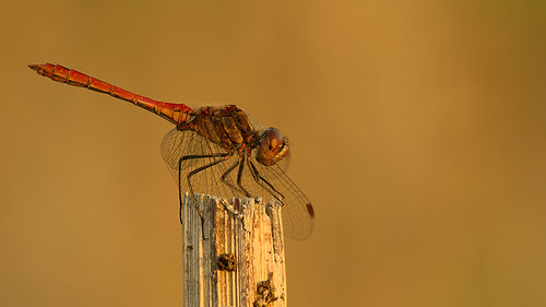 "Dragonfly enjoying the last sunlight • <a style=""font-size:0.8em;"" href=""http://www.flickr.com/photos/22289452@N07/9465210955/"" target=""_blank"">View on Flickr</a>"