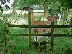 Miranda (Wildlife Terry) Tags: llama public footpath righttoroam unexpected wildlife nature packanimal