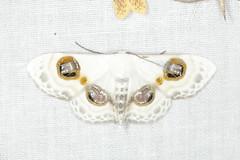 Problepsis cf. albidior (Geometridae) (Scrubmuncher) Tags: problepsis lepidoptera tamanthi myanmar burma rosspiper myanmarburmawildburmabbc2expeditionbbcexpeditionrosspiperentomologistentomology htamanthi moths lighttrap