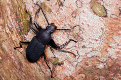 DSC_8254.jpg (hankplank) Tags: night insect saintmartin nocturnal beetle caribbean sxm sintmaarten coleoptera tenebrionidae leewardislands lesserantilles loteriefarm picparadis zophobasatratus