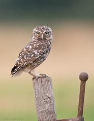 Little Owl (S.Hatch) Tags: birds nikon wildlife british owls d800