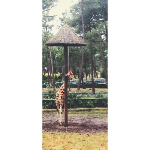 Curieuse comme une girafe