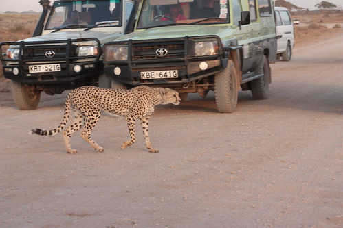 Cheetah passing through the road