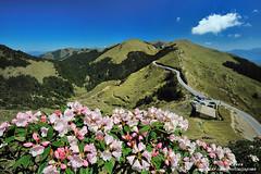 合歡山賞杜鵑 Taiwan Alpine Rhododendron (愚夫.chan) Tags: taiwan 台灣 南投縣 花蓮縣 秀林鄉 玉山杜鵑 仁愛鄉 合歡山森林遊樂區 森氏杜鵑 taiwanalpinerhododendron