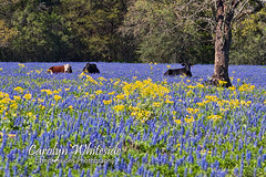 Herefords, Angus and Bluebonnets