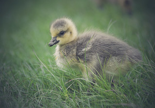 Getting Down with the Baby Goose!