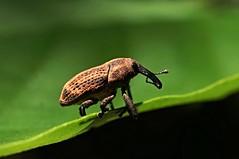 Weevil, Singapore (singaporebugtracker) Tags: funny rostrum weevil elephanttrunk macroinsect longsnout snoutbeetle pineweevil fungusweevil macritchieforest audiospeaker singaporebugtracker pinkweevil