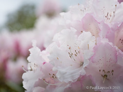Nymans blossom (amipal) Tags: uk greatbritain flowers england nature garden sussex blossom unitedkingdom gb nationaltrust nymans