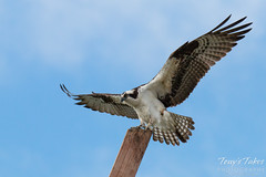 Male Osprey landing sequence - 8 of 13